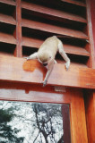 Vervet monkey that wants into the dining room at Amboseli Serena Lodge