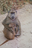 Olive Baboon & youngster