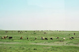 Maasai & their herd along the road