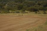 Bat-eared fox on runway