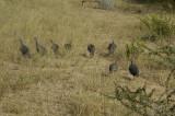 Helmuted guinea fowl