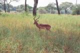 Impala, male
