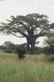 Large baobob tree with a hole in it - Leaving Tarangire National Park