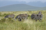 Lots of animals everywhere! These are plains zebra