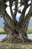 A gnarled tree