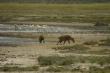 Hyena on the prowl at the flamingo pool