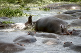 Hippos are fun to watch as they roll around in the water