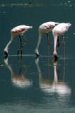 A close up of the flamingos
