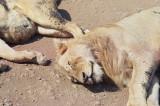 Beautiful lions -- Ugly flies