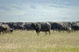 It's my herd
