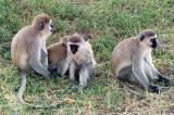 Vervet monkeys (blue-balled monkeys)  in Lerai Forest.jpg