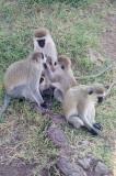 Doing what monkeys do best