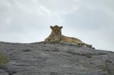 Lioness on a Kopje