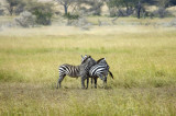 Common zebra in the scouting position