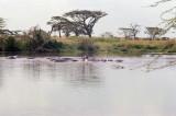 Hippos in the Seronera River