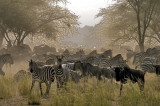 Zebra and wildebeest - part of the Great Migration