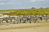 Zebra chase at the watering hole