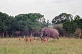 Elephant and Impala - 'so, when the first one stumbled out of the tent, he said....'