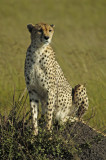 20. Masai Mara - Cheetah will sit on the mounds (or climb on the vehicles) to spot their prey