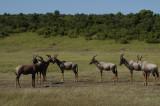 A herd of topi