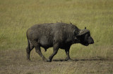 Hitching a ride on a cape buffalo