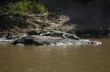 Crocodile Rock (with apologies to EJ)