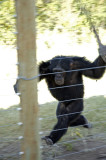 Easel, one of the chimps at Jane Goodall Sanctuary