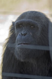 The chimps have plenty of room here and are very well treated, but, well this guy just doesn't look happy!
