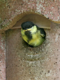 Young Great Tit starts for leaving its nestbox