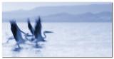 Pelicanos despegando  -  Pelicans taking off