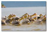 Pelicanos - Pelicans