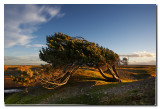 Arbol peinado por el viento  -  Tree combed by the wind