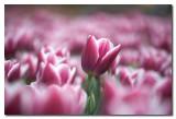 Tulipanes en Longwood Gardens Pennsylvania