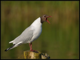 Kokmeeuw-Black-headed Gull