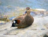 Canard Chipeau Femelle - Female Gadwall Duck