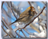 Roselin (Forme Jaune)- House Finch(Yellow species)