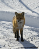 Renard Roux - Red Fox 001
