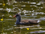 Poule deau immature- Common Moorhen