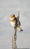 Bruants des Neiges - Snow Bunting 005