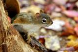 Écureuil Roux - Fox Squirrel