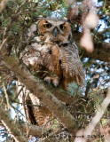 Grand-Duc - Great Horned Owl