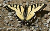 Papillon Tigré Du Canada