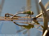 Anax de juin - Common Green Darner