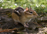 Tamia - Eastern Chipmunk