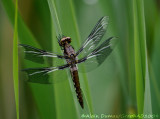 Libellule Lydienne - Common Skimmer