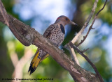 Pic Flamboyant Femelle - Female Northern Flicker