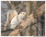 Écureuil Gris (Leucique) - Eastern Gray Squirrel (Leucism)