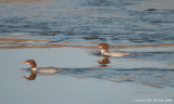 Grand Harle Femelles - Female Common Mergansers