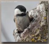 Mésange à tête noire - Black Capped Chickadee