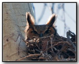 Grand Duc d'Amérique Femelle - Female Great Horned Owl